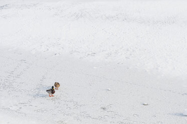 Germany, two  mallards standing on frozen lake - MJF000807