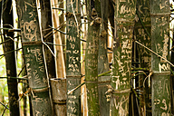 Australia, New South Wales, Sydney, names and dates carved on trunks of bamboo (Bambusoideae) in Royal garden - FBF000201