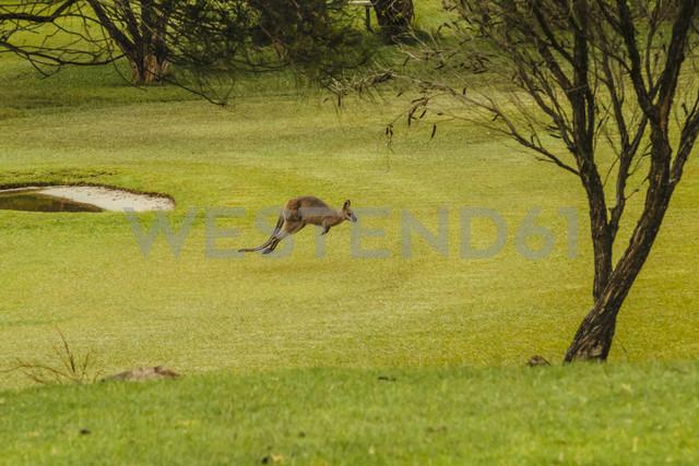 Australia, Hawks Nest, kangoroo (Macropus giganteus) on golf course - FB000172