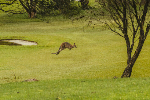 Australia, Hawks Nest, kangoroo (Macropus giganteus) on golf course - FB000172