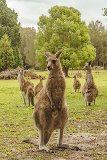 Australia, New South Wales, kangoroos, some with joey (Macropus giganteus) on meadow - FBF000174