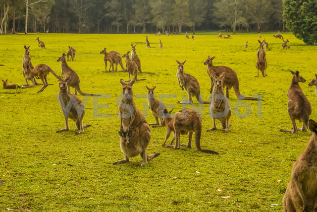 Australia, New South Wales, kangoroos, some with joey (Macropus giganteus) on meadow - FB000177 - Frank Blum/Westend61