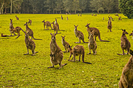 Australia, New South Wales, kangoroos, some with joey (Macropus giganteus) on meadow - FB000177