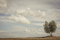 Italy, Tuscany, Val d'Orcia, Olive tree in field - MJF000740