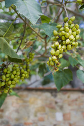 Italy, Tuscany, San Quirico d'orcia, Empress Tree (Paulownia tomentosa) - MJF000846