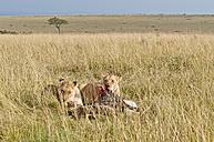 Kenya, Rift Valley, Maasai Mara National Reserve, Lions eating blue wildbeest - CB000195