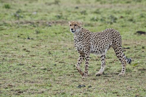 Kenya, Rift Valley, Maasai Mara National Reserve, Cheetah - CB000193