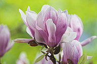 Magnolia blossoms, close-up - GWF002501
