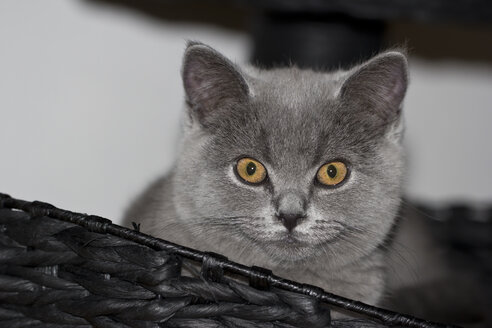 Portrait of grey British shorthair - YFF000021