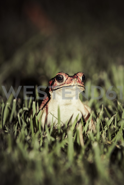 Indonesia, Bali, Close up of Asian common toad, Bufo Melanostictus - KRP000195