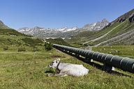 Austria, Vorarlberg, Vermunt, Bielerhohe, Water supply pipe from Silvretta dam with cow - SIEF005048