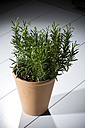 Rosemary plant - MAEF007698