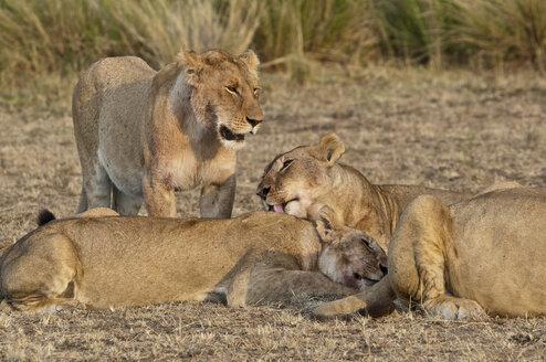 Africa, Kenya, Maasai Mara National Reserve, Lions, Panthera leo, pride of lions at grooming - CB000206