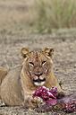 Africa, Kenya, Maasai Mara National Reserve, Female lion, Panthera leo, eating - CB000209