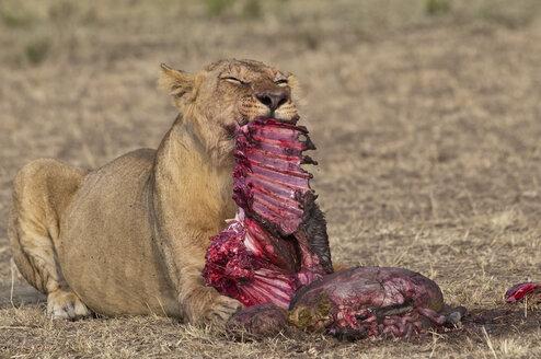 Africa, Kenya, Maasai Mara National Reserve, Female lion, Panthera leo, eating a blue wildebeest - CB000211