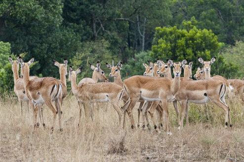 Africa, Kenya, Maasai Mara National Reserve, Impala antelopes, Aepyceros melampus - CB000216