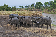 Africa, Kenya, Maasai Mara National Reserve, African Bush Elephants, Loxodonta africana, with young animals crossing the Mara River - CB000219