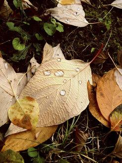 autumn foliage, Cornus sanguinea, Austria - DISF000550