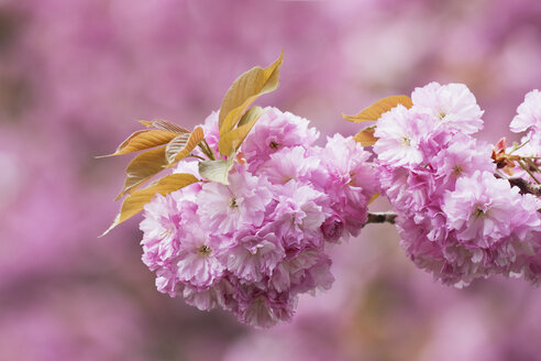 Germany, Cologne, Cherry blossoms (Prunus Serrulata) - GWF002524