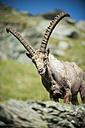 Austria, Grossglockner, Alpine Ibex, Capra ibex - PAF000392