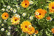 Germany, Rhineland-Palatinate, Pot Marigold (Calendula officinalis) and Chamomile (Matricaria chamomilla) - CSF020859
