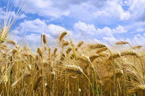 Germany, Rhineland-Palatinate, Barley (Hordeum vulgare), barley field, ears - CSF020848