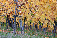 Germany, Baden-Wuerttemberg, vineyard in autumn - RUEF001155
