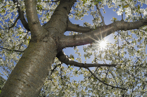 Germany, Bavaria, blossoming cherry tree, view from below - RUEF001181