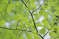 Leaves of European beech (Fagus) in spring, view from below - RUEF001186