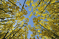 Germany, Bavaria, rape field (Brassica napus) in front of blue sky, view from below - RUEF001221