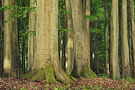 Germany, Mecklenburg-Western Pomerania, Ruegen Island, Jasmund National Park, tree trunks of beech forest (Fagus) - RUEF001192