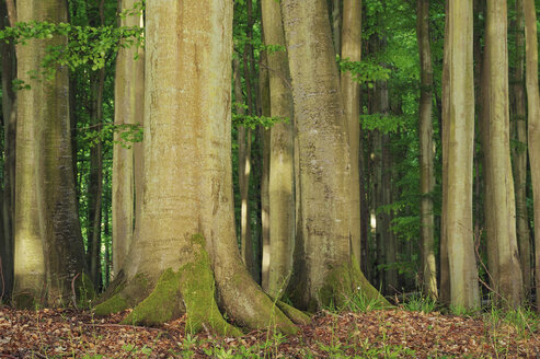 Germany, Mecklenburg-Western Pomerania, Ruegen Island, Jasmund National Park, tree trunks of beech forest (Fagus) - RUEF001192