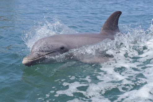 Honduras, Bay Islands, Roatan, bottlenose dolphin (Tursiops truncatus) swimming at water surface - RUEF001196