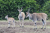 Africa, Kenya, Maasai Mara National Reserve, Group of Common Elands or Eland Antelopes (Taurotragus oryx) - CB000273