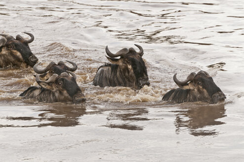 Africa, Kenya, Maasai Mara National Park, Close-up of a group of Wildebeests (Connochaetes taurinus) swimming through the Mara River - CB000264