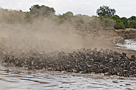 Africa, Kenya, Maasai Mara National Park, A herd of Blue or Common Wildebeest (Connochaetes taurinus) during migration, wildebeests crossing the Mara River with cloud of dust - CB000261