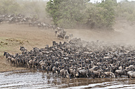 Africa, Kenya, Maasai Mara National Park, herd of blue wildebeests (Connochaetes taurinus), Gnu migration, jostling on the bank of the Mara River - CB000257