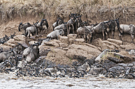 herd of blue wildebeests (Connochaetes taurinus) try to get out of the Mara river - CB000255
