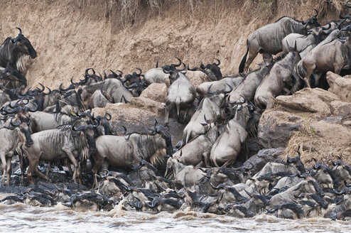 herd of blue wildebeests (Connochaetes taurinus) try to get out of the Mara river - CB000253