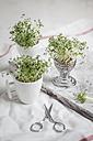 Cress (Lepidum sativum) in eggcup and cup, scissors - SBDF000576