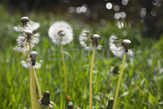 Germany, meadow of blowballs, Common dandelion (Taraxacum officinale) - GWF002516