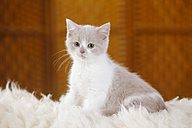 British Shorthair Cat, kitten, sitting on flocati - HTF000343