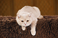 British Shorthair Cat lying on brown faux fur - HTF000330