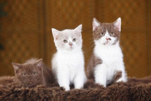 Three British Shorthair Cats, kitten, sitting on faux fur - HTF000329
