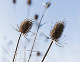 Germany, inflorescences of Dipsacus Fullonum in front of blue sky - HLF000384