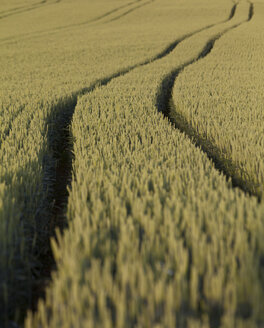 Rye field with tractor tracks - AMF001835