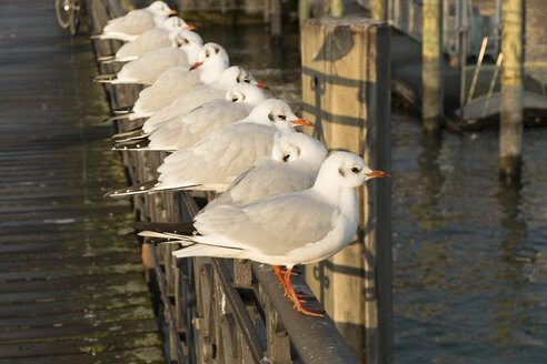 Germany, Baden-Wuerttemberg, Constance, harbour, seagulls - LAF000571