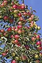 Germany, Hesse, Ripe red apples on tree, close-up - AMF001872