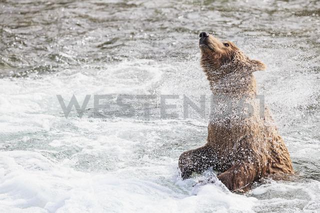 USA, Alaska, Katmai National Park, Brown bear (Ursus arctos) at Brooks Falls and shaking body - FOF005964