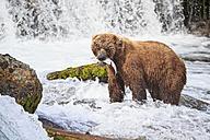 USA, Alaska, Katmai National Park, Brown bear (Ursus arctos) at Brooks Falls with caught salmon - FOF005969